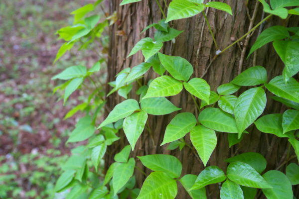What is Systemic Poison Ivy?