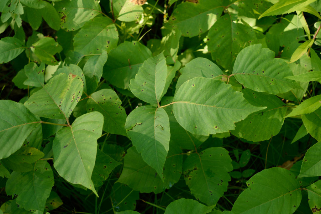 poison ivy rash treatment itch relief remedies